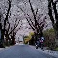 Photos: V-ストと桜並木