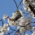 Photos: 桜ブランコ