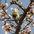 Photos: 桜顔