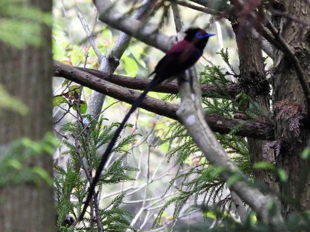 黒忍鳥ホロホロ