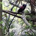 Photos: 黒忍鳥ホロホロ