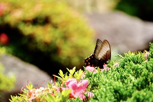 梅雨を彩る蝶