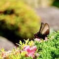 Photos: 梅雨を彩る蝶