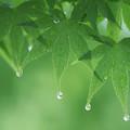 Photos: 緑雨