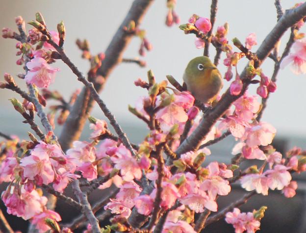 メジロさん   河津桜七分咲き