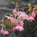 メジロさん  河津桜の蜜を吸う