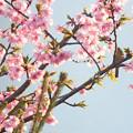 Photos: メジロさんのカップル  河津桜に