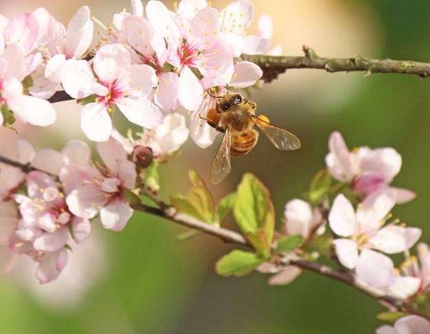 蜂さん大きな花粉団子(1)   小梅桜(庭梅)に