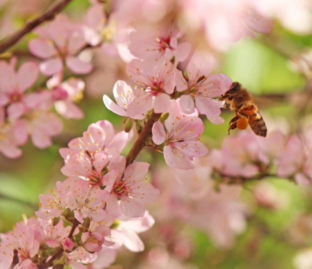蜂さん大きな花粉団子(2) 満開の小梅桜(庭梅)に