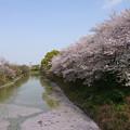 長池の桜満開(1) 花筏(はないかだ)