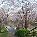 長池の桜(2)  新緑と