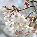 長池の桜(3) 光を浴びて