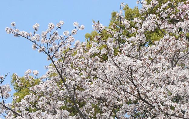 桜満開 (4)    長池にて