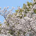 Photos: 桜満開 (4)    長池にて