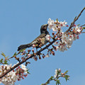 Photos: ひよどりさん(1) 長池の桜に