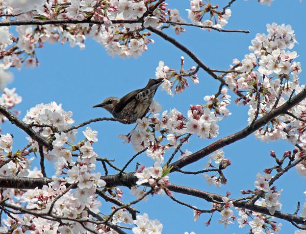ひよどりさん(2) 長池の桜に集う