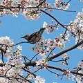 Photos: ひよどりさん(2) 長池の桜に集う