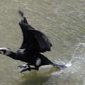カワウさん (3)繁殖期 飛翔へ