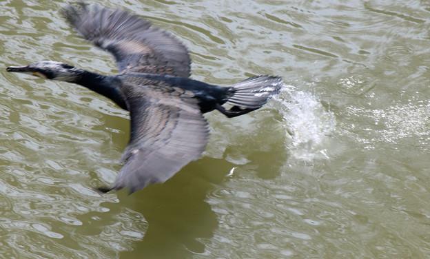 カワウさん(4)繁殖期 飛翔