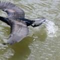 Photos: カワウさん(4)繁殖期 飛翔