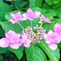 紫陽花の花 (1)