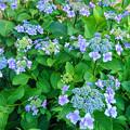 紫陽花の花 (2)