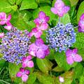 紫陽花の花(3)