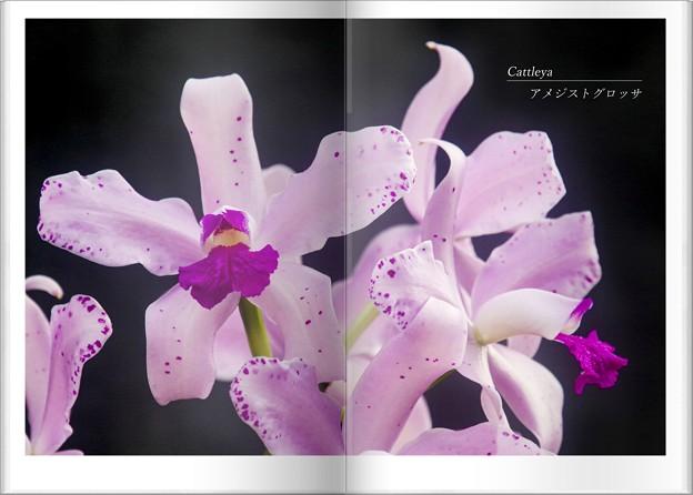 Photos: /カトレア/植物図鑑風
