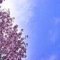 side cherry tree A