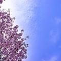 Photos: side cherry tree A