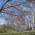 Photos: - CROWDLESS - 少しの桜と白樺と...