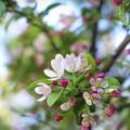 Photos: リンゴの花 咲くころ
