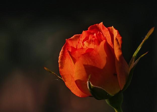 水無月の薔薇 un