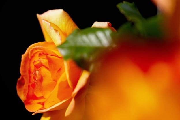 水無月の薔薇 deux