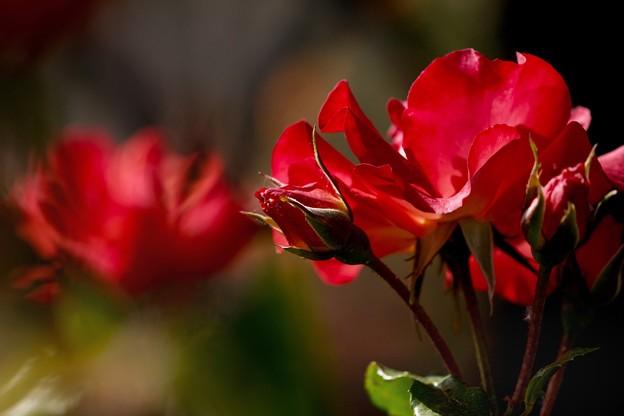 水無月の薔薇 trois