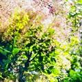 お家で DPE /Smoke tree in June 1