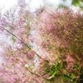 Photos: お家で DPE /Smoke tree in June 3