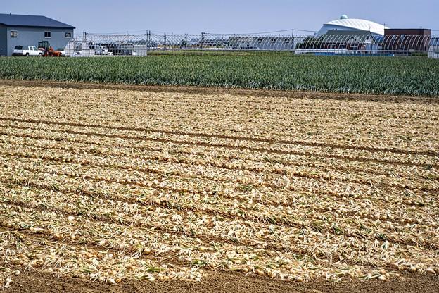Photos: onion line