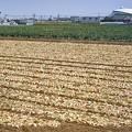 onion line