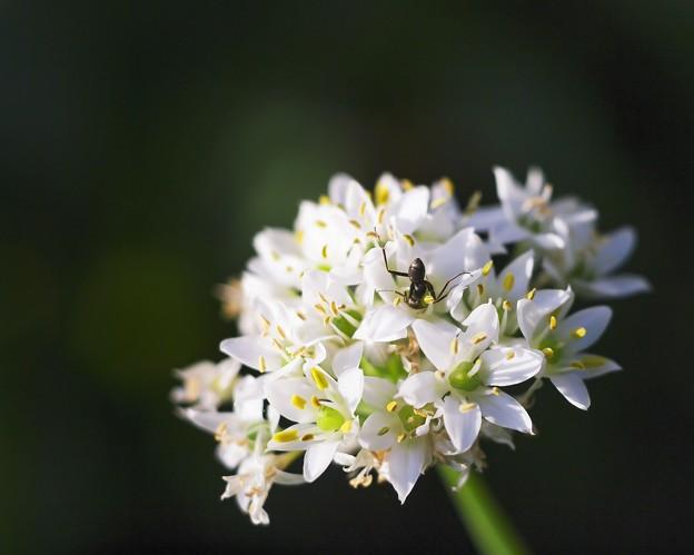 お家で DPE /韮の花