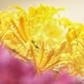 Photos: <リコリス> yellow pattern 2