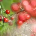 Ruby of the field /本日の3枚