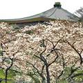 武道館を背に満開の桜