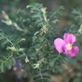 はまなすが咲きました