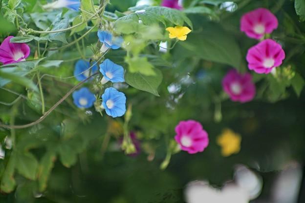 庭に咲く朝顔