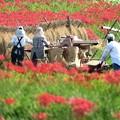 Photos: 彼岸花に囲まれて収穫