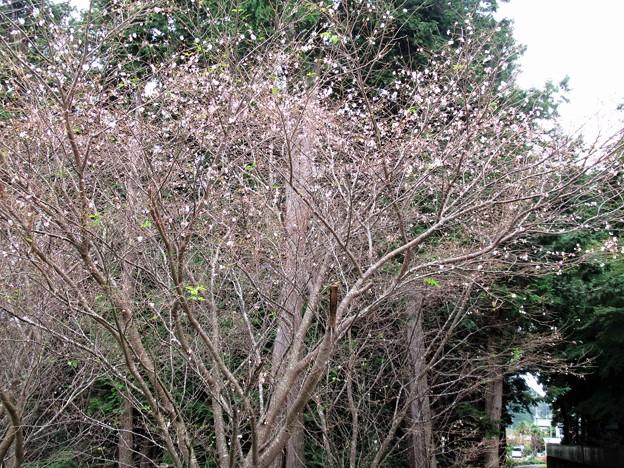 秋に咲く桜ー2