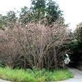 秋に咲く桜-1