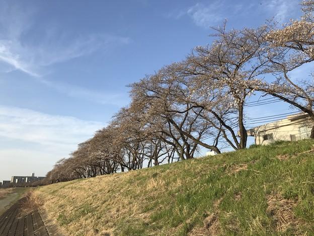 24日の多摩川河川敷(の桜)