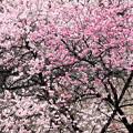 Photos: 春に咲く